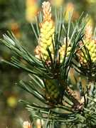 Pine, Borovica lesná
