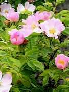 Wild Rose, Ruža šípová