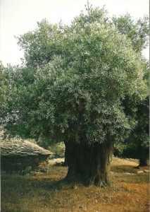 oliva strom